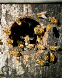 Bees Hover Around The Entrance To A Beehive