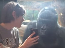 Man Shows Gorilla His Phone the Reaction is Unbelievable