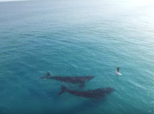 Unbelieveable Footage of a Paddleboarder's Encounter with Two Whales