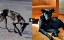 Amazing Dog Transformation From Skin and Bones to Healthy Recovery