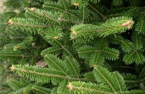 Christmas Tree Types - Bob's Blogs