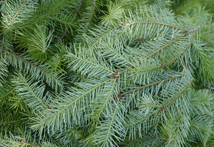 Christmas Tree Types - Bob's Blogs