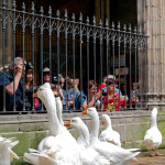 Barcelona-Geese in Cathedral of Saint Eulalia_366296744