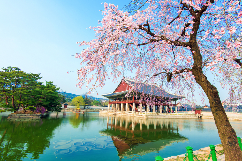 Gyeongbokgung Palace with cherry blossom in spring,Korea_268207544