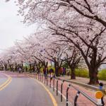 Seoul cherry blossom festival in Korea_364821479