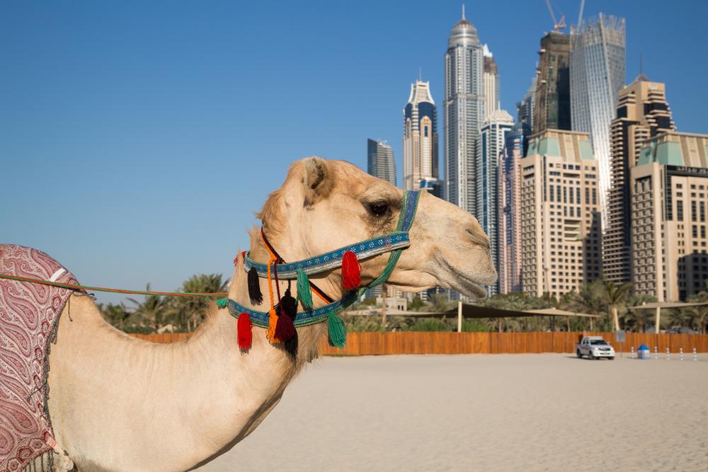 Camel and Dubai skyscrapers_347946182