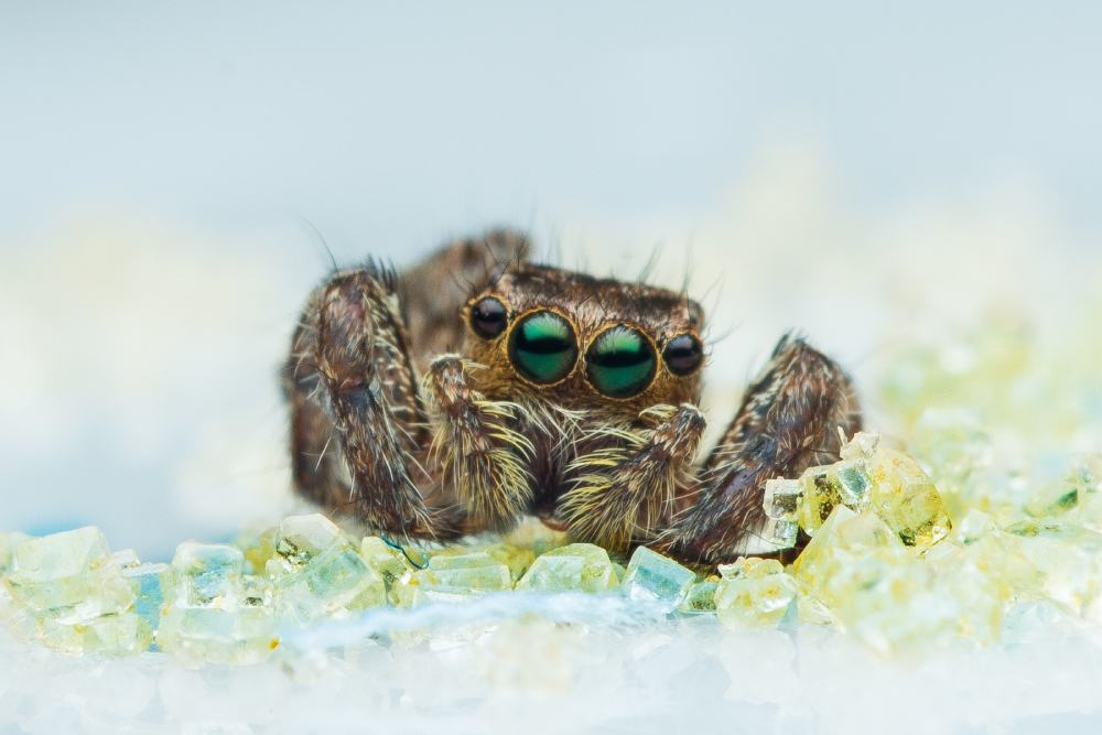 Image of a real spider with multiple eyes