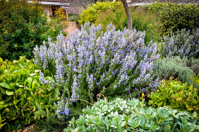 Rosemary plant to keep bugs away from your hot tub