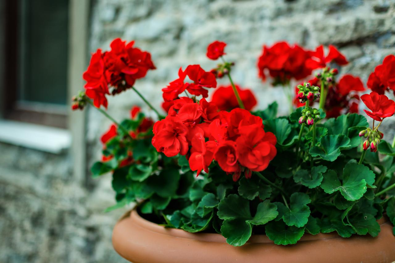 geranium to plant around your hot tub