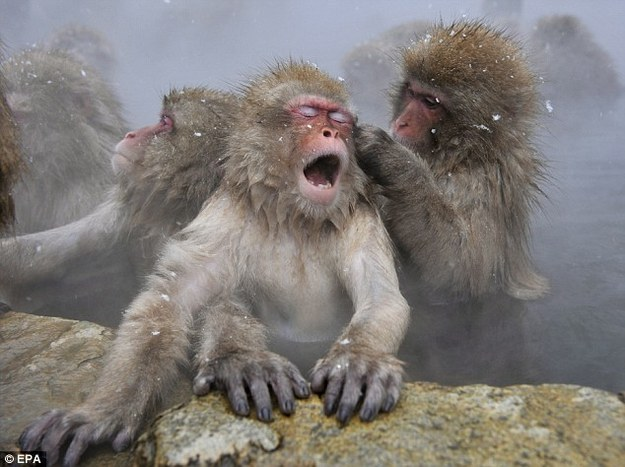 Snow Monkeys On The Other Side of the World Keep Us Going