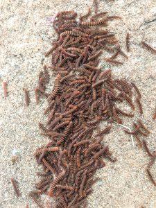 taasinsimi = centipede (sp.)