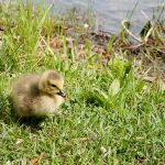 One of the baby geese we saw along the lake at Vogel State Park