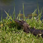 A baby gator on the banks of Magnolia Springs