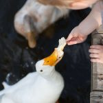 Trey dares to hang on to the bread and let the ducks take it from his fingers