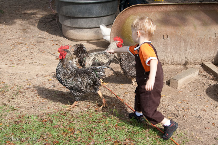 Trey ignored my warnings and decided to chase the chickens. He's lucky he didn't get pecked.