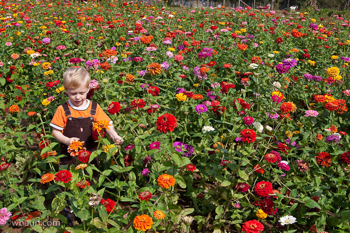 A field of zinnias