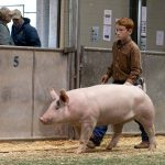 The Fair's pig judging contest