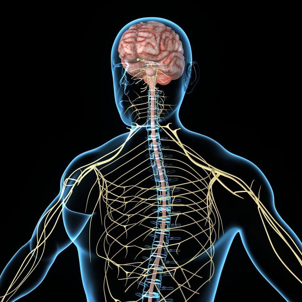 nervous-system | Dr. John Bergman