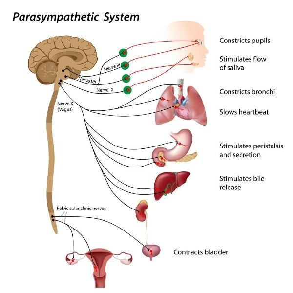parasymphatetic