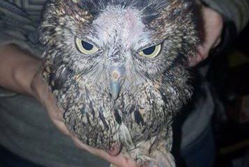 Male Eastern Screech Owl (Megascops asio)