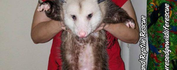 Imprinted Opossums