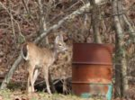 Charles Gordon of Auburn, W.Va. snapped this picture  of a deer along Route 74 in Ritchie County near Pullman, W.Va.