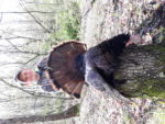 Jackson Chapman of Fraizer's Bottom,W.Va. with is first ever spring gobbler, killed during the 2020 season in West Virginia