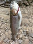 Ken Mealey of Morgantown, W.Va. sends along a picture of a 6 pound, 12 ounce rainbow trout he caught from the Cheat River in Preston County, W.Va.  The fish measured about 25 inches.