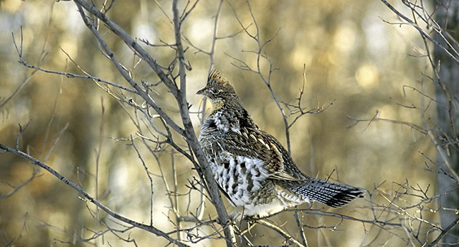 Wv Metronews Hard Times In Wv For Ruffed Grouse