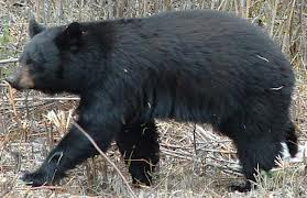 Hunters in 29 WV counties could kill a bear during buck season under proposed regs