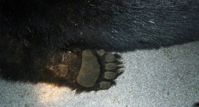 The paw shows the size of the 300 pound black bear officers were forced to destroy as it ran through a residential neighborhood