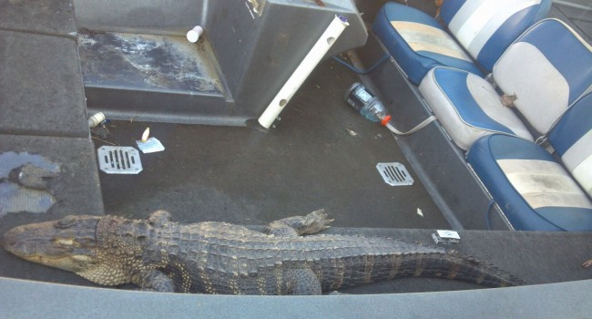 A caiman caught by two anglers on the Mon River Friday