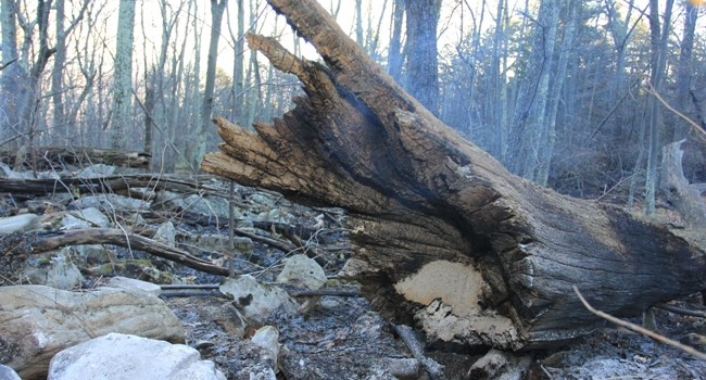 Although sizeable, most of the fire burning has been leaf litter which in most cases hasn't been hot  enough to burn big objects, but burns fast.