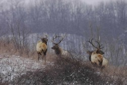 The Kentucky elk heard has proven the steep reclaimed mine lands of southern West Virginia will easily support elk