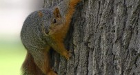 A fox squirrel on high alert in a hardwood forest.