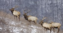 Elk have thrived in Kentucky and have been reintroduced in Virginia on habitat similar to Southern W.Va.