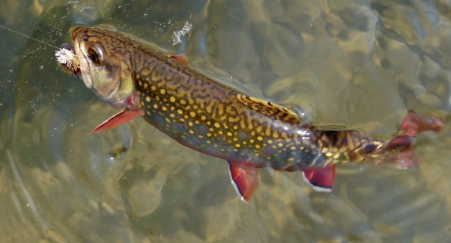 Wv metronews new laws increase protection for w va fish for Wv fishing regulations