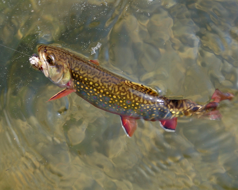Wv metronews new laws increase protection for w va fish for Trout fishing in wv