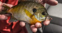 It doesn't get much more simple than a bluegill on a worm