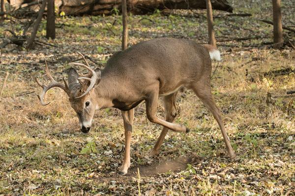 Wv Metronews Buck Season Forecast Good But Not Like Last