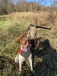 William Walter of Morgantown, W.Va. shows us a pic of Magnus--a 4 year old French Brittany who raised a limit of pheasant on this day in the field.