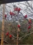 Jana Walls of Athens, W.Va. shares this unique picture of a full circle of cardinals outside the window of her Mercer County home.