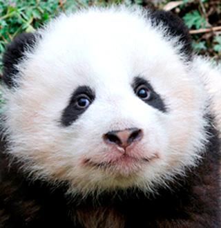 WWF panda story
