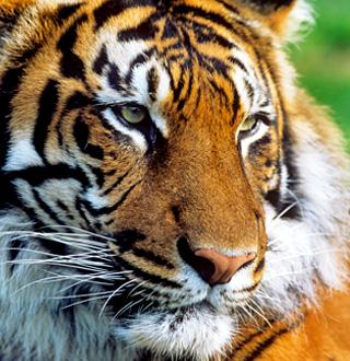 WWF tiger story