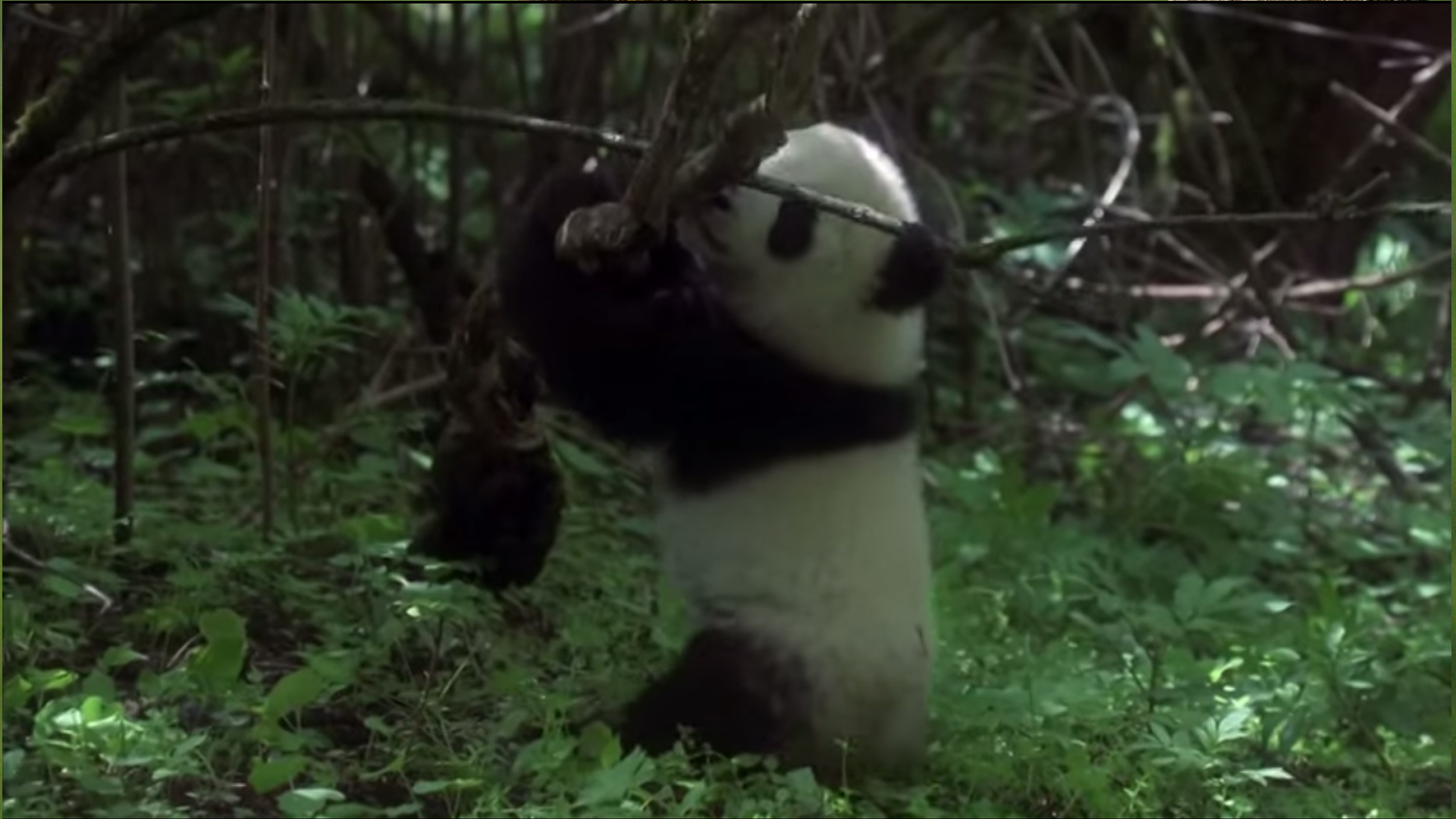 WWF - Panda