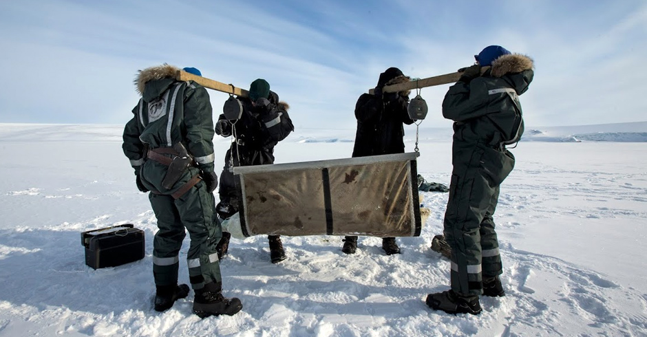 Polar bear research isn't all high-tech. Here, the researchers team up to weigh a polar bear the old-fashioned way – with scales and a sling. A female may weigh 150–250 kg, while a male could weigh up to 700 kg.