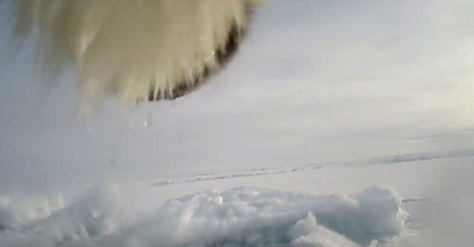 The camera is attached to a collar placed on a polar bear's neck. The collar also sends a GPS signal, so it can be retrieved when it falls off.