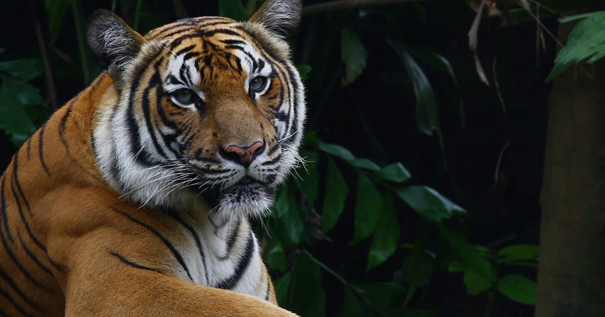 WWF - Tiger Day