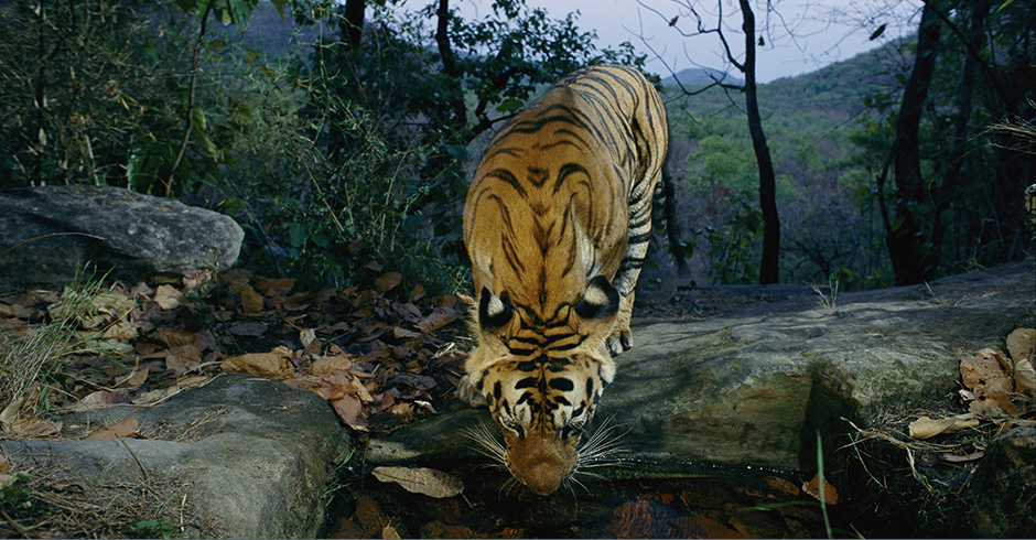 In India, this tiger broke an infrared beam and was photographed drinking from a water hole.