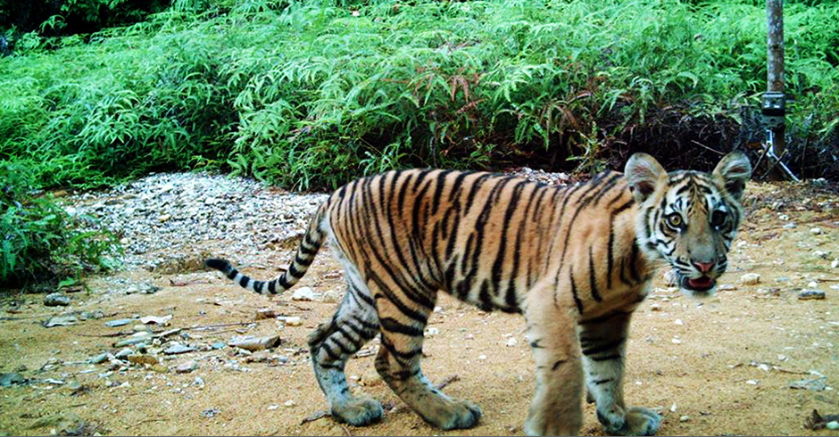 In Indonesia, this young Sumatran tiger was wandering around with its mother (not shown).